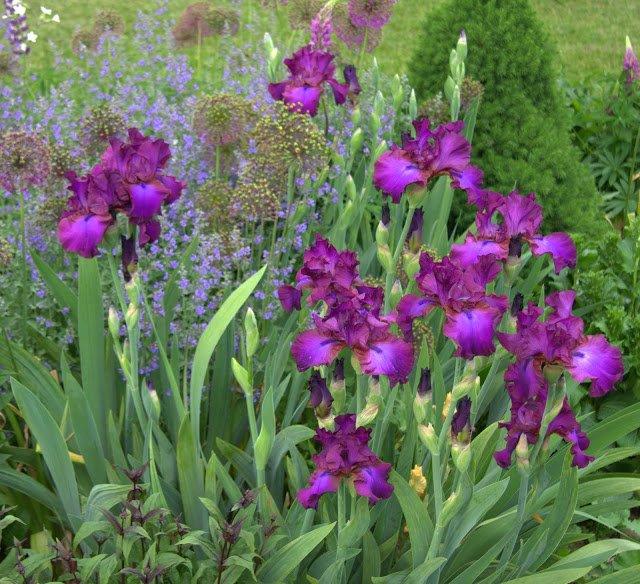 Iris-Gypsy-romance-3