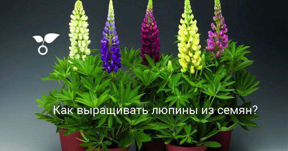 В Цветах: Статья «Секреты выращивания Люпина на даче»