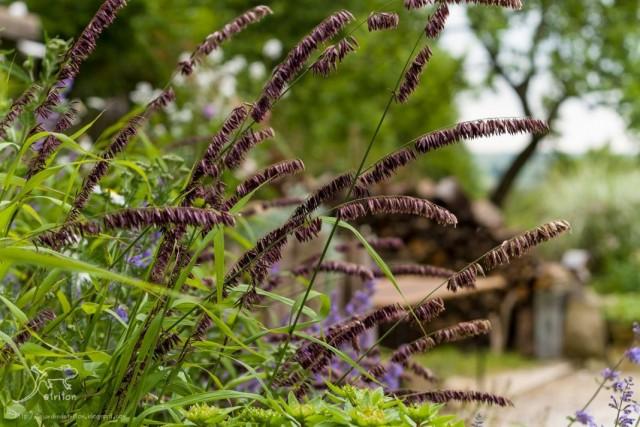 Перловник высокий (Melica altissima)
