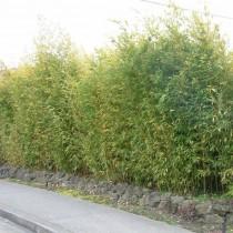 Листоколосник золотой (Phyllostachys aurea), или Золотой бамбук