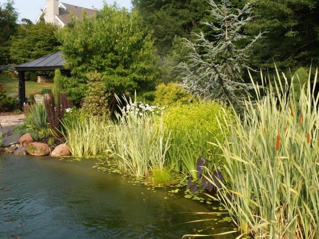 Водные растения у береговой зоны декоративного пруда