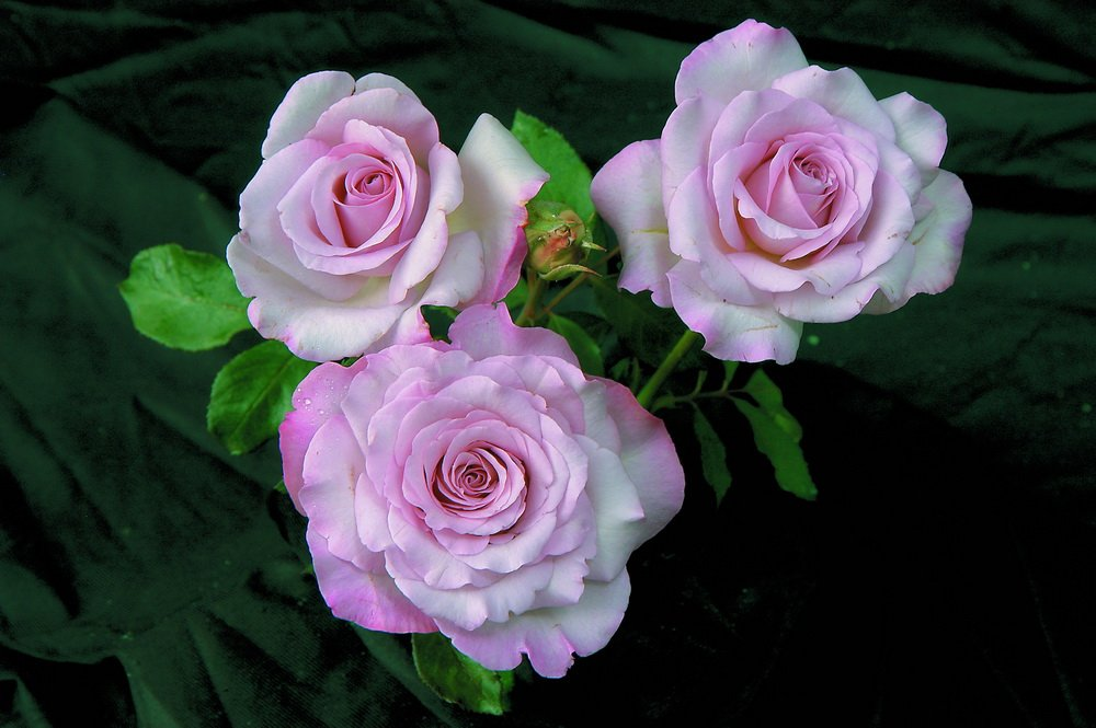 Rose-Nicole-Carol-Miller-02