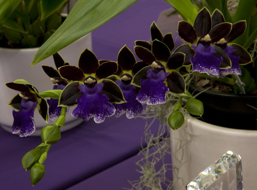 Zygopetalum-New-Era-2