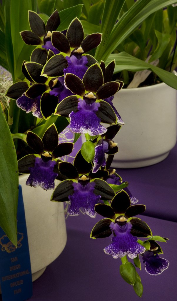 Zygopetalum-New-Era-3