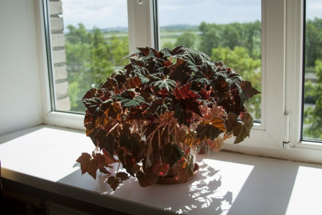 Бегония королевская (Begonia rex)