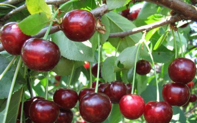 Гибрид вишни с черешней, дюк сорта Пивоня