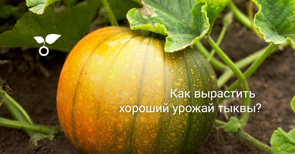 Как вырастить тыкву в открытом грунте из семян