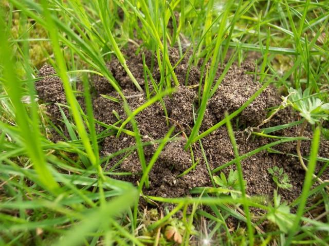 Муравьиная куча на газоне