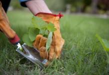 Удаление осота с газона