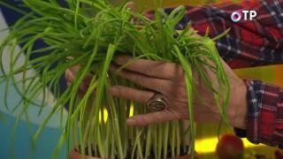 Зелень чеснока, выращенная из зубчиков, не пригодных к посадке на огороде