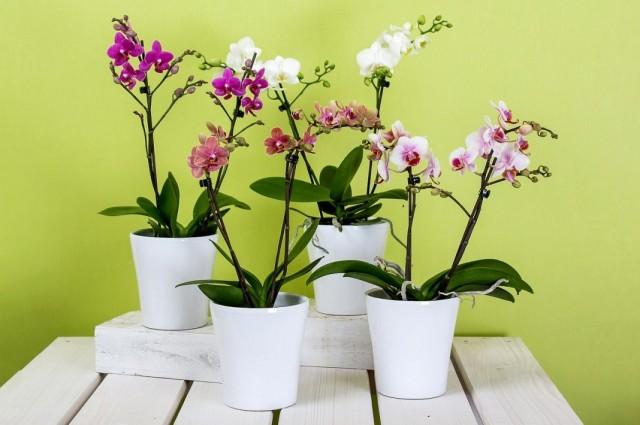 Орхидеи Фаленопсис (Phalaenopsis)