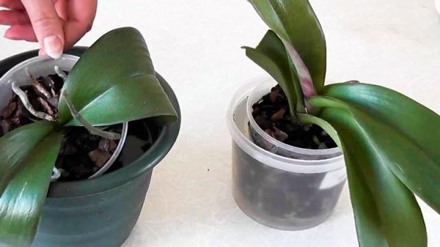 Полив орхидей методом погружения