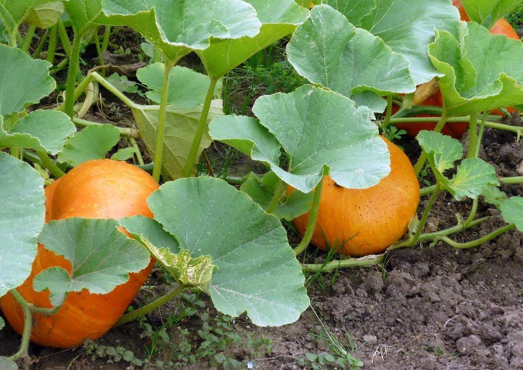 Проект выращивание тыквы 11