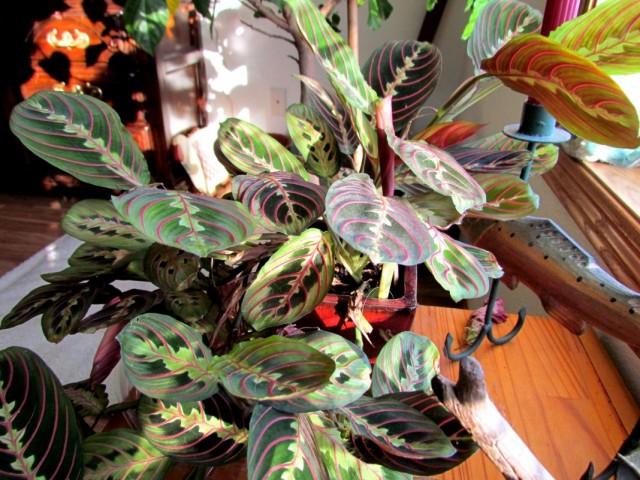 Маранта беложилковая (Maranta leuconeura)