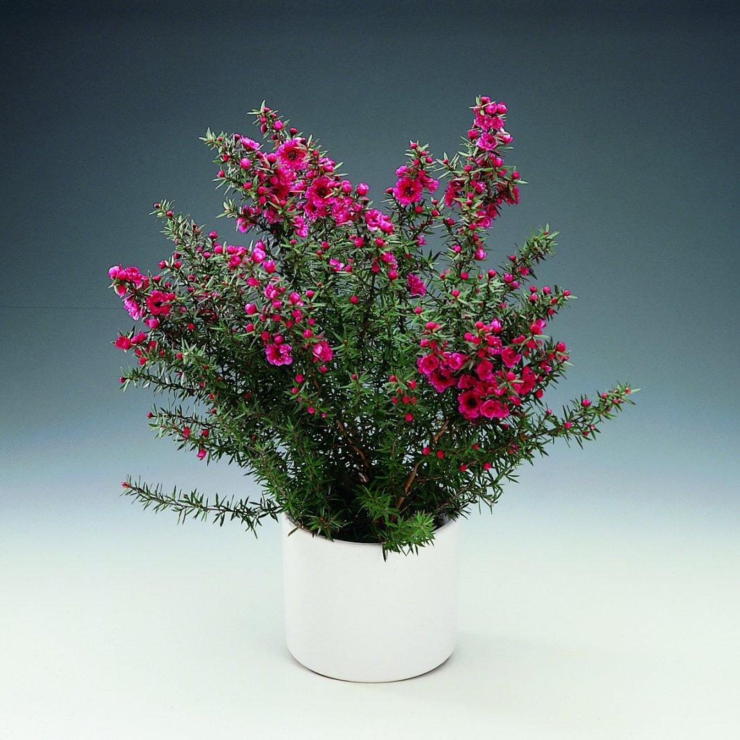 Лептоспермум pink blossom, wiki linda, coral candy. Лептоспермум фото