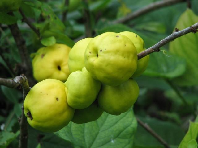 Хеномелес японский, или айва японская (Chaenomeles japonica)