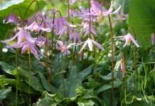Кандык завёрнутый, или Кандык отвёрнутый (Erythronium revolutum)