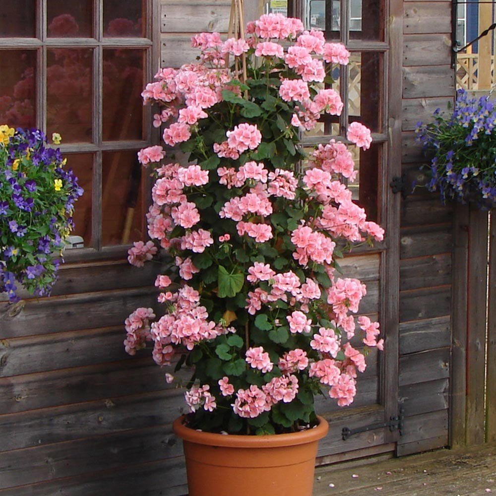 Geranium-Antik-Pink-1