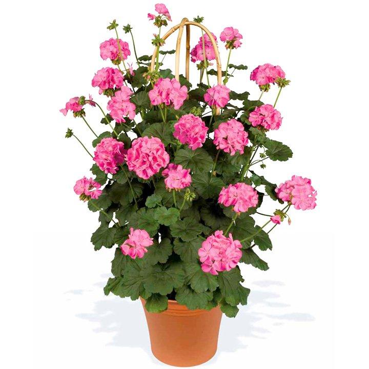 Geranium-Antik-Pink-2