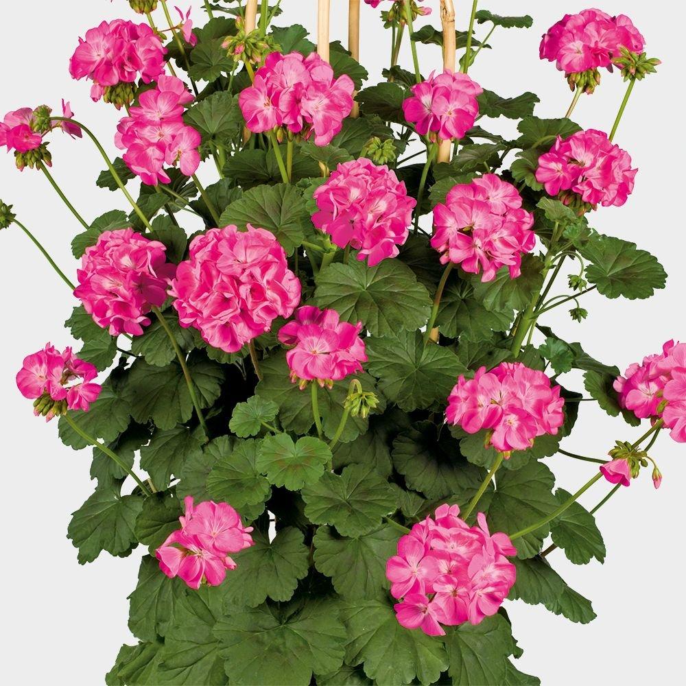 Geranium-Antik-Pink-3