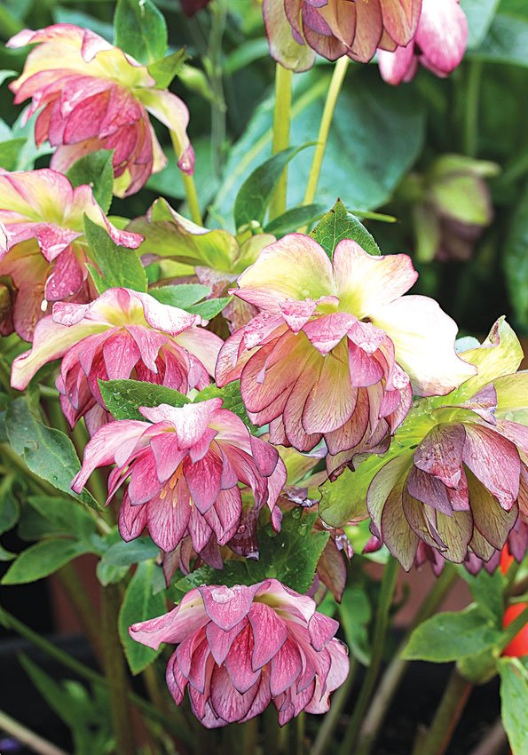 Helleborus-Peppermint-Ice-2