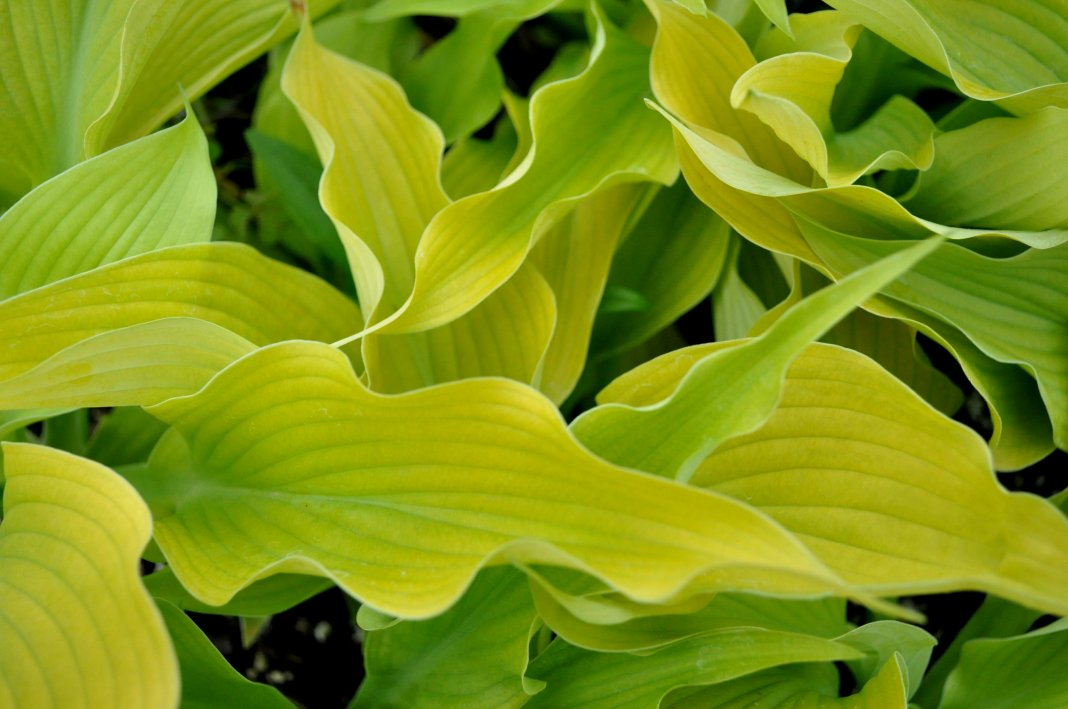 Hosta-Sun-Power-1
