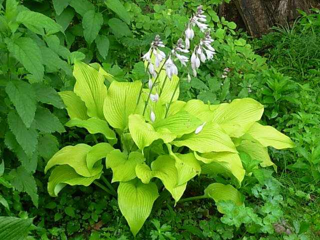 Hosta-Sun-Power-2