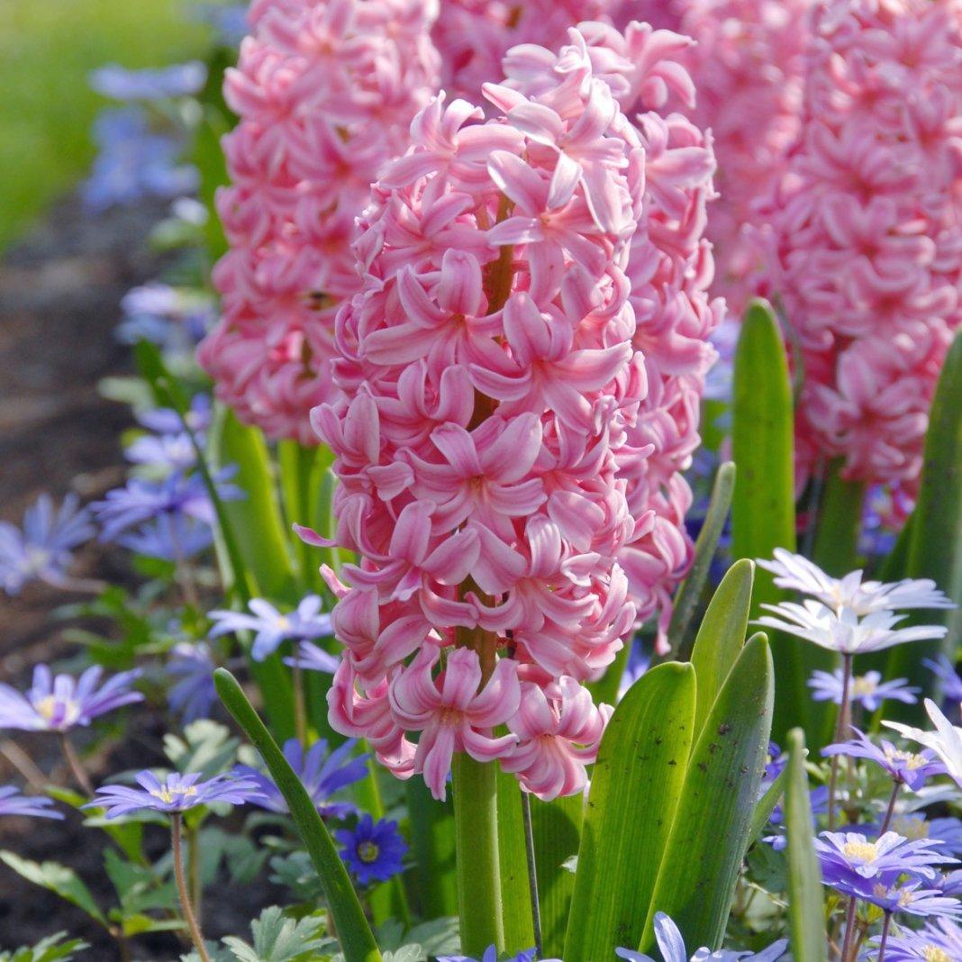 Hyacinthus-Ibis-1
