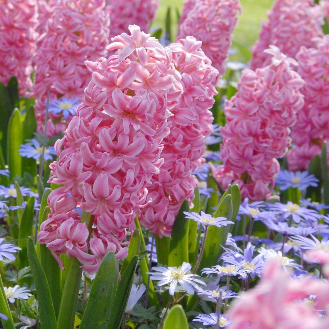 Hyacinthus-Ibis-2