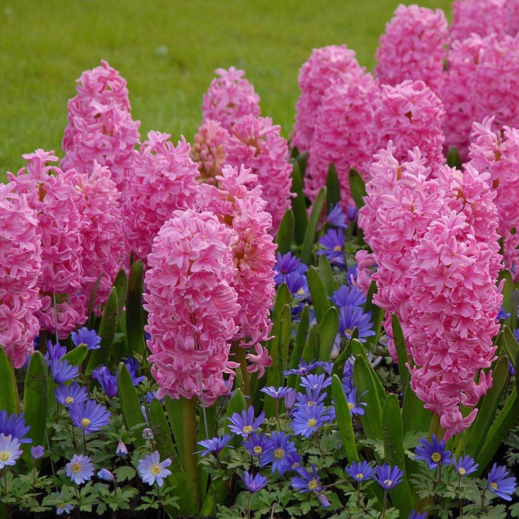 Hyacinthus-Ibis-3