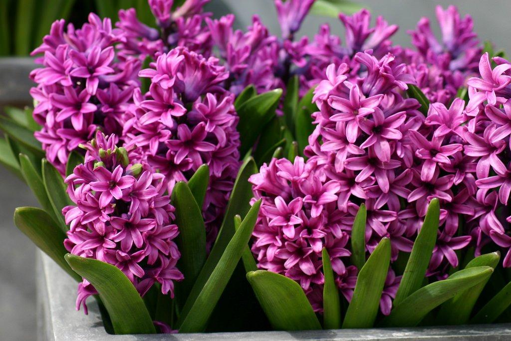 Hyacinthus-Orientalis-Miss-Saigon-1