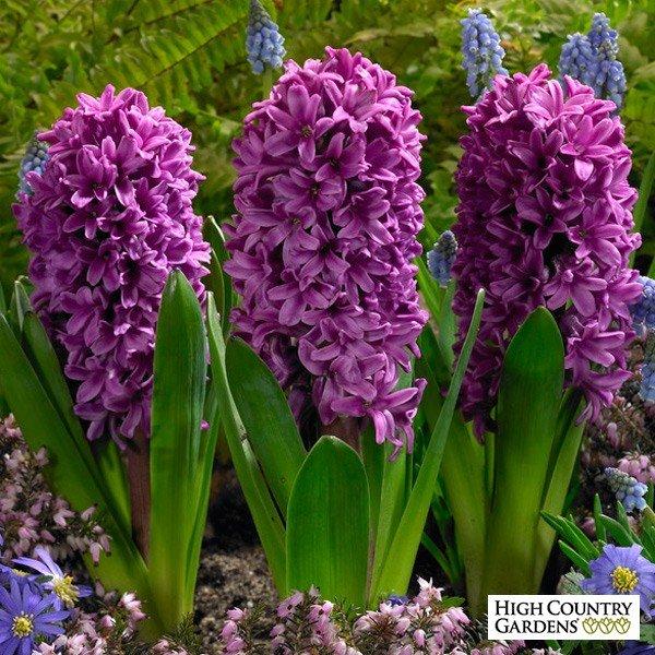 Hyacinthus-Orientalis-Miss-Saigon-2
