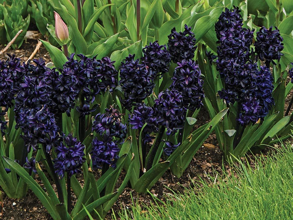 Hyacinthus-orientalis-Dark-Dimension-3