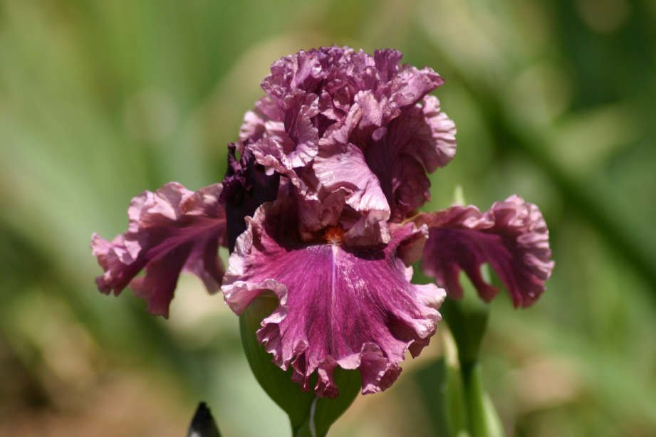 Iris-germanica-Romantic-Gentleman-1