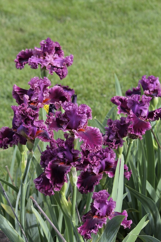 Iris-germanica-Romantic-Gentleman-3