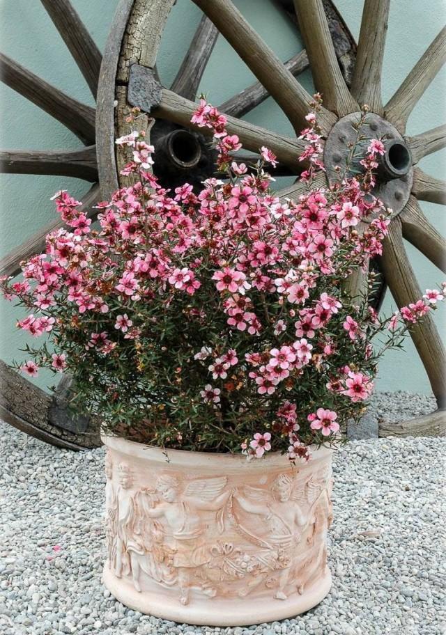 Тонкосемянник метловидный, или Лептоспермум метельчатый, или Манука (Leptospermum scoparium)