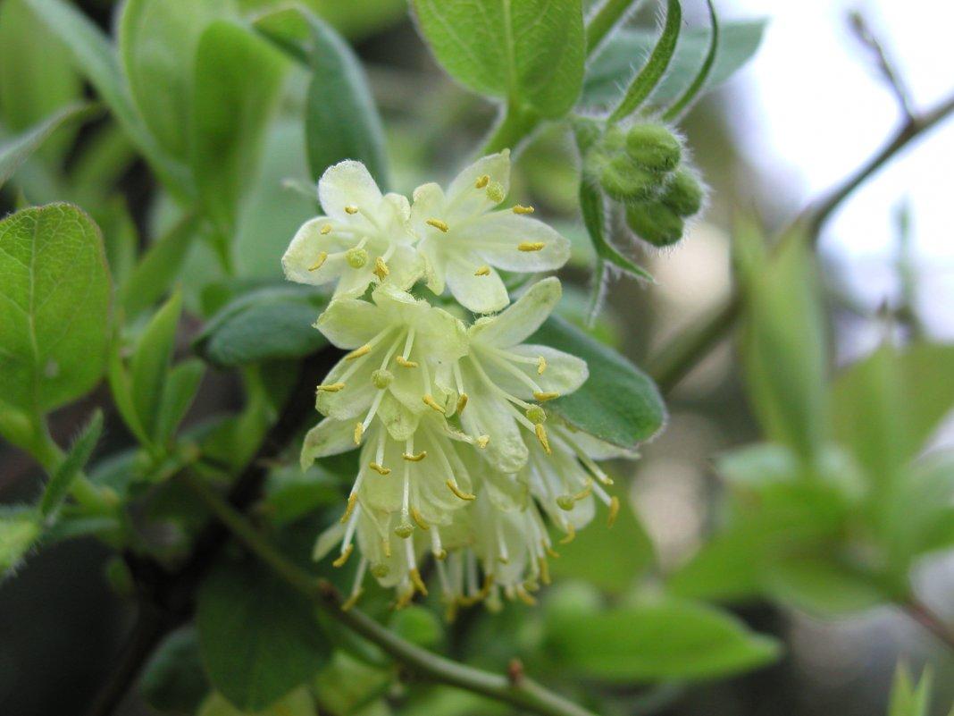 Жимолость съедобная цветки фото