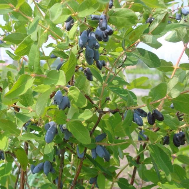 Жимолость голубая, или Жимолость синяя (Lonicera caerulea)