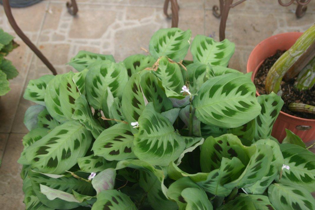 Маранта родина комнатного растения как ухаживать 5