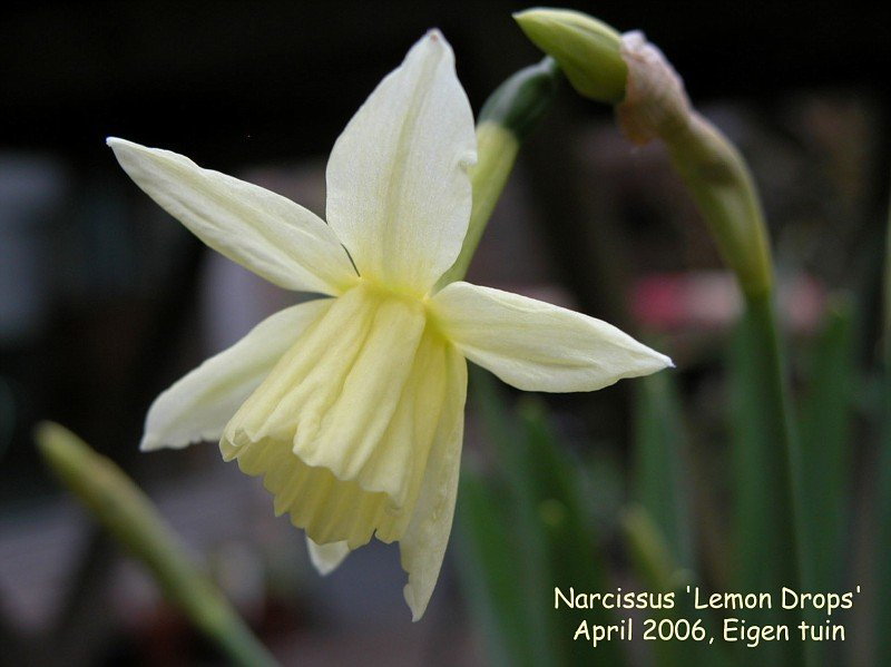 Narcissus-Lemon-Drops-1