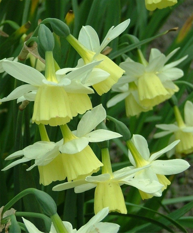 Narcissus-Lemon-Drops-2