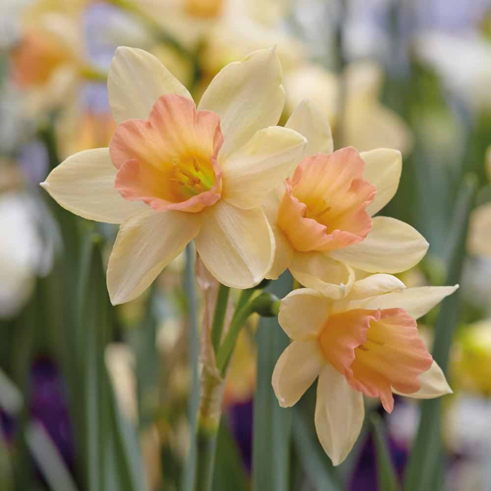 Narcissus-jonquilla-Blushing-Lady-1