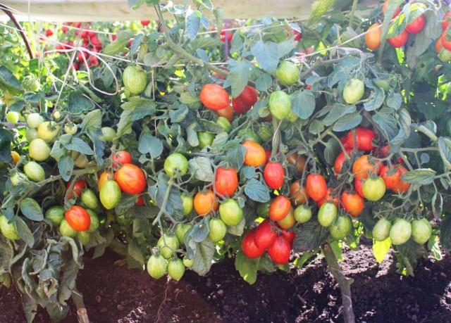 Урожай выращиваемого в грядках коробах томата «Непас 10»