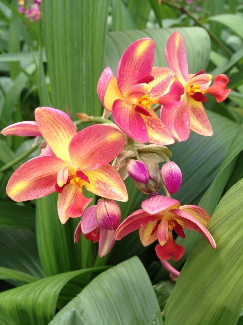 Spathoglottis-Tropical-Punch-1