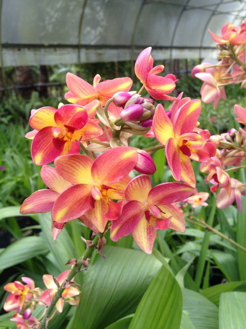 Spathoglottis-Tropical-Punch-2