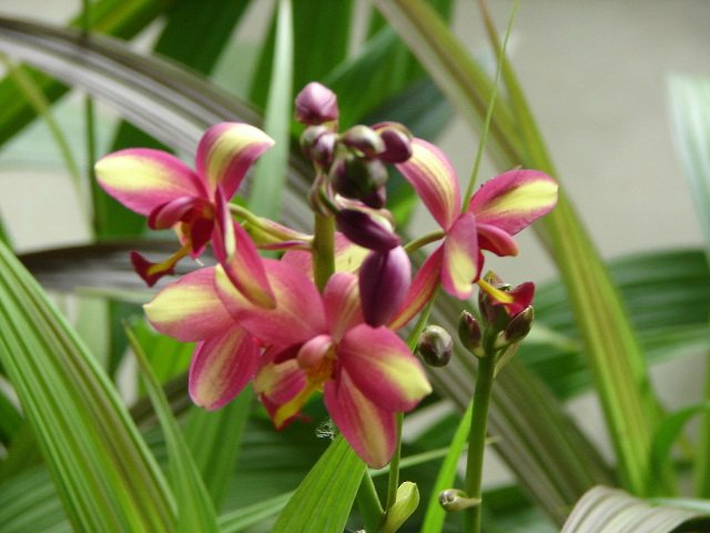 Spathoglottis-Tropical-Punch-3