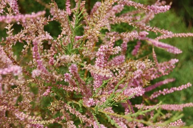 Цветки Гребенщика, или Тамарикса (Tamarix)