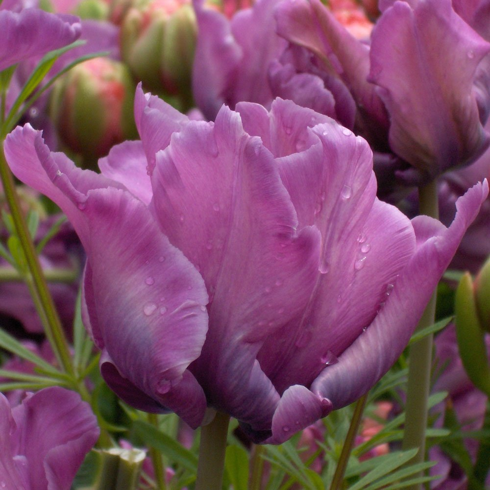 Tulip-Blue-Parrot-1