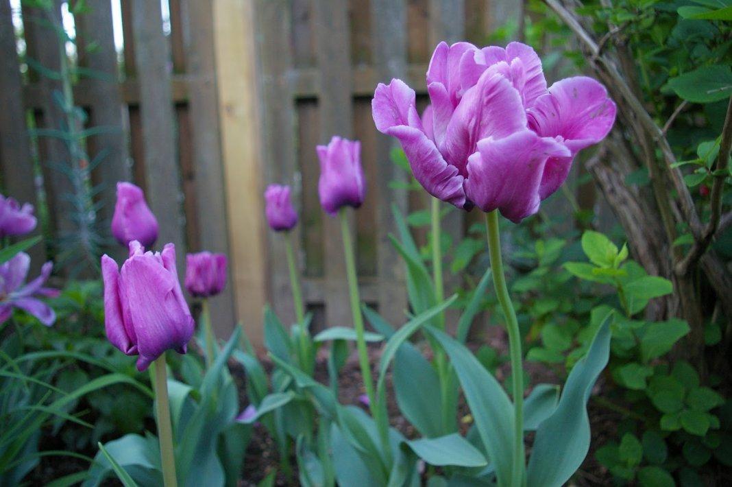 Tulip-Blue-Parrot-3
