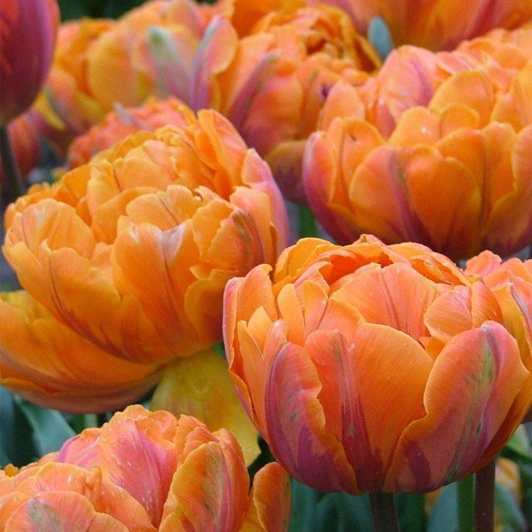 Tulipa-Orange-Princess-1
